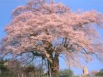醍醐桜(だいござくら)
